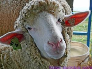 Sheep Portrait no. 2_edited-1