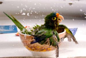 bathing-parrot-cesar-badilla